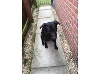 Black 3 year old Labrador male