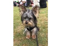 Gorgeous 6 month old female Yorkshire terrier