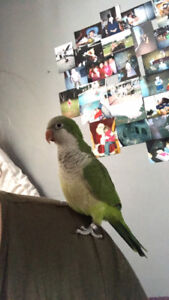 BEAUTIFUL QUAKER PARROT AND CAGE OBO