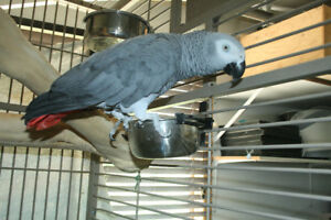 African Grey Congo (Bonded Pair)  Male is (DNA Tested) & Talks