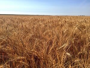 AAC Wildfire winter wheat certified seed