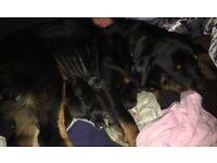 Rottweiler x Husky pups