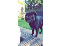 ***LOST DOG*** BLACK PUG NAMED BENTLEY LAST SEEN 16/8/17 RAINWORTH MANSFIELD DESERT