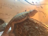 Female bearded dragon.