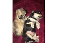 2 chihuahua male puppies ready 1st sept.