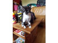 Black ans white malr kitten. Born 28 april.