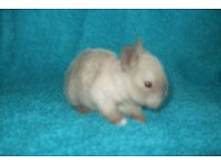 baby netherland dwarf baby rabbits for sale