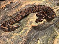 Ghi royal pythons