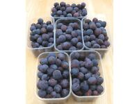 Free To Collector - DAMSONS - PICK YOUR OWN OFF THE TREE