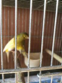 Scotch fancy Canary for sale