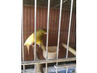 Scotch fancy Canary for sale