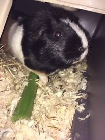 Female Guinea pigs looking for home