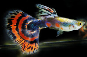 fancy guppies for sale