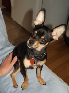 Lost dog- Chihuahua at Mapleton trails