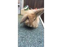 Male lionhead rabbit