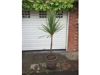Palm Tree - Cordyline Australis