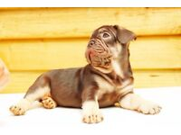 STUNNING FRENCH BULLDOG PUPS for sale!!- Beautiful quality