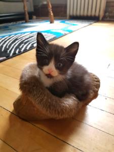 Ragdoll x Devon Rex Two Kittens Need Loving Homes