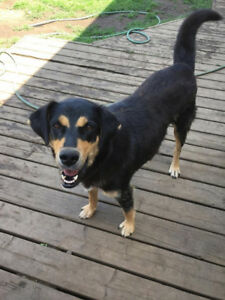 Paws for Love dog rescue has a 1-2 year rottie X for adoption