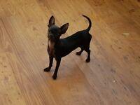 Tiny Chihuahua black girl puppy