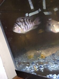 1 Jack Dempsey cichlid and two convict cichlids