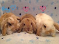 Gorgeous baby mini lop rabbits. Boys and girls available.