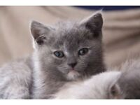 Two scottish kittens