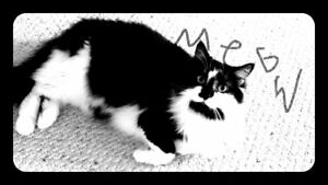 Marley - Lost Female Cat - Black and White Shorthair