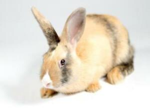 "Young Female Rabbit - American: ""Hazel"""