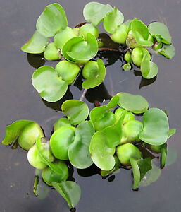FREE Water Lettuce and Water Hyacinth