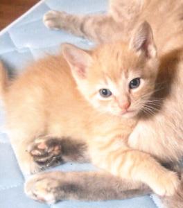Orange male kittens 7wks must go!