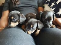 chihuahua cross jack russell puppies