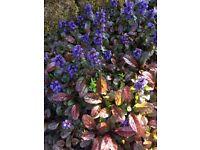 Plants - Ajuga reptans 'Atropurpurea' & Lucifer...