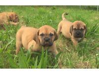 Stunning multi champion Dogue de Bordeaux puppies ready now