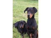 3 KC Reg dogs for sale.