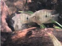 Midas Cichlid juveniles (Amphilophus citrinellus)