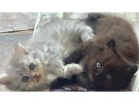 Persian x ragdoll kittens
