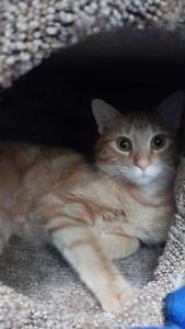 "Young Female Cat - Domestic Short Hair: ""Laffy"""