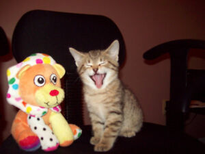 Bengal x Tabby Kittens Ready To Go Male & Female