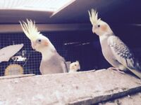 Beautiful young cockatiels for sale