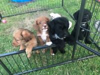 Toy poodle x puppies ready to go with puppy pack