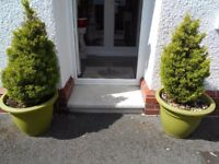 2 x Conifers in Large Planters ...Will sell without Planters