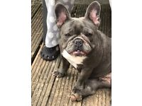 For Sale Female Blue French Bulldog