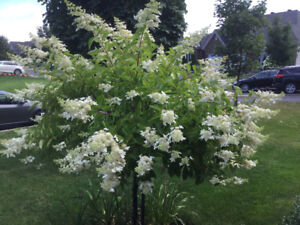 Arbuste hydrangée blanc sur tige