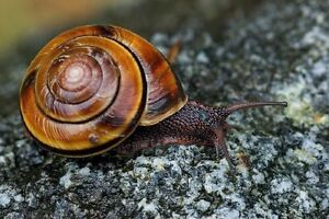 Looking for pacific sideband snail