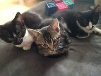 Lovely tabby kitten for sale ready now
