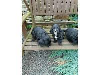 6 beautiful cockapoos puppies