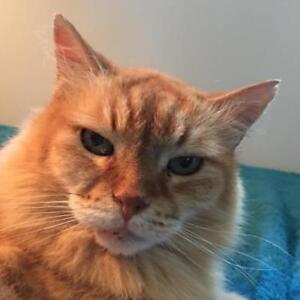 "Senior Male Cat - Domestic Long Hair (Orange): ""MOUSE"""
