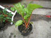 Plant for sale-A swiss chard plant