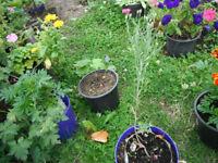 Plant for sale-A cornflower plant